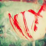 i once saw a tulip