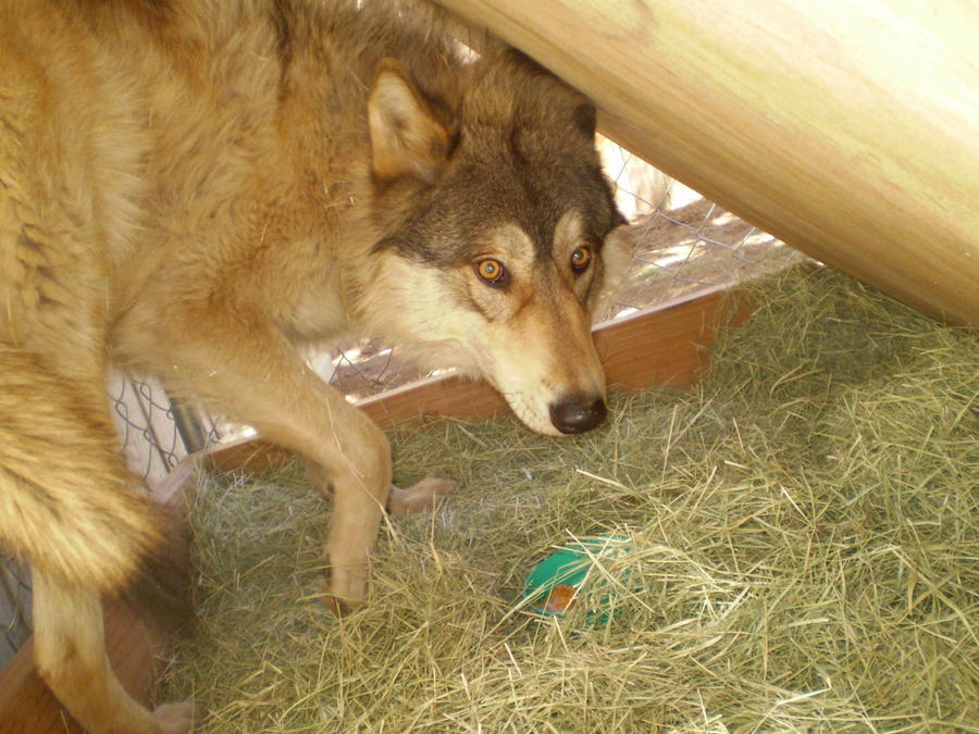 High Content Wolf Dog by GrayMedicine on DeviantArt