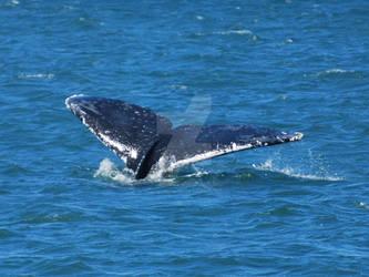 Whale Fluke 1