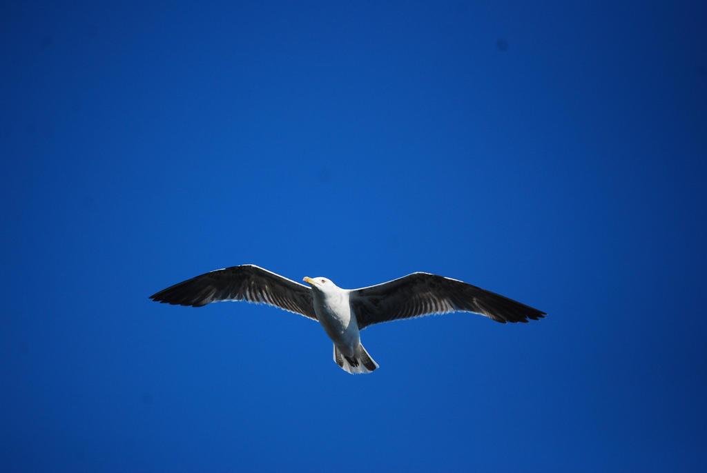 Seagull in blue sky by alain-angela