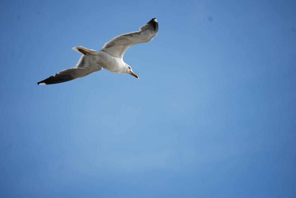 Seagull by alain-angela