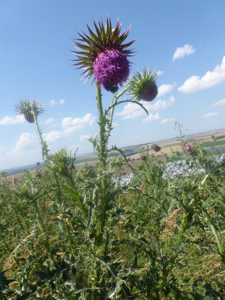 thistle by cacharoth