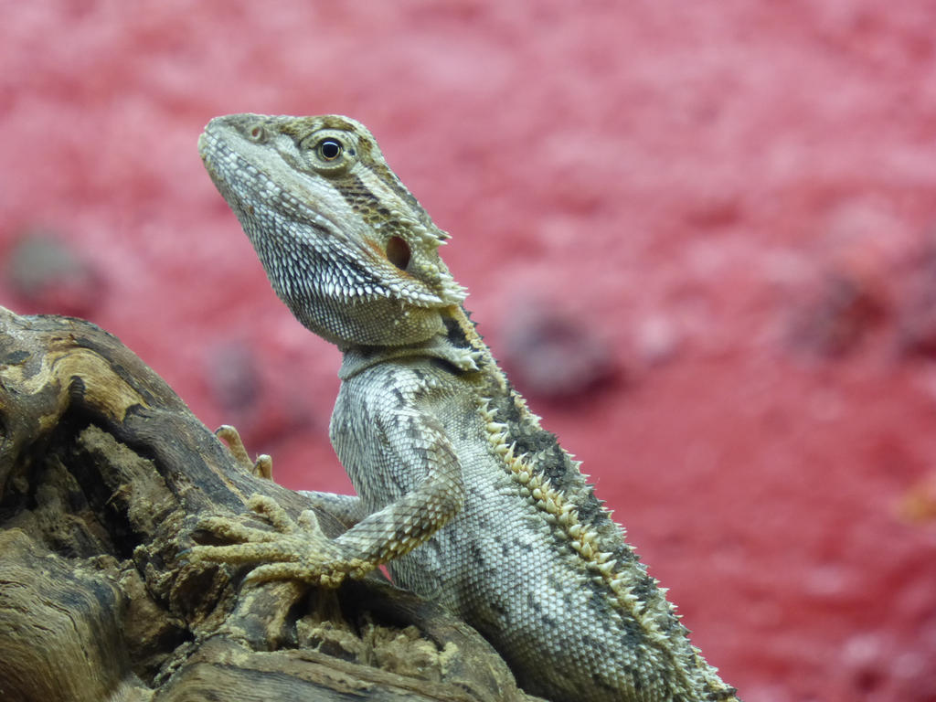 little bearded dragon by cacharoth