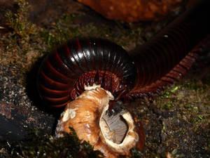 eating millipede