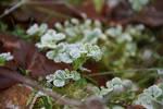 crystal clover
