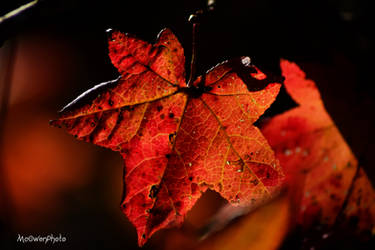 sweetgum leaf by McOwenPhoto