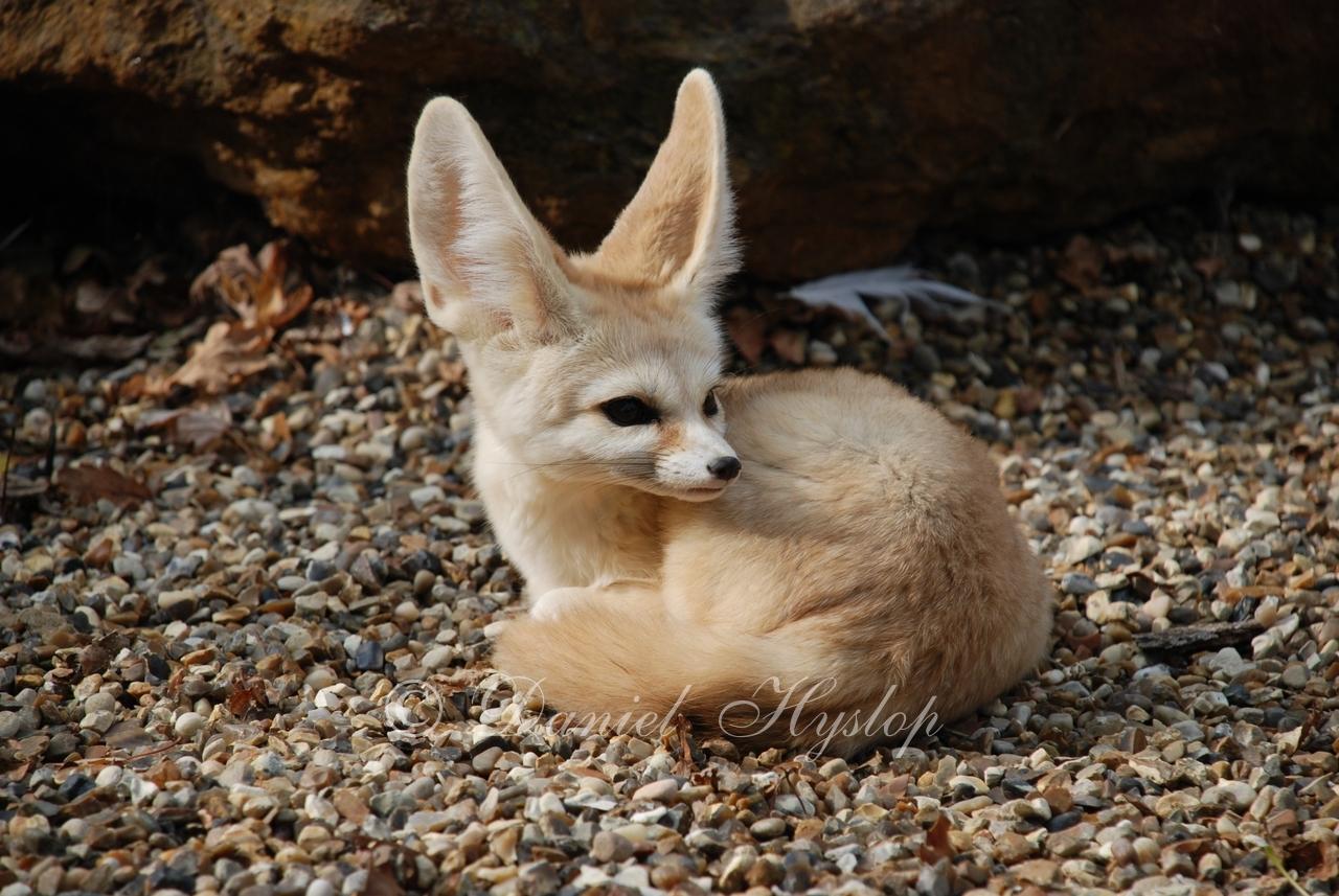 Big Eared Fox Dog