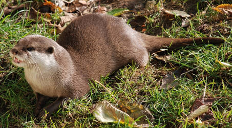Smilin' Otter