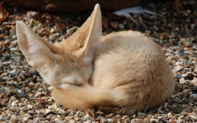 Sleeping Fennec. by Rabid-Coot