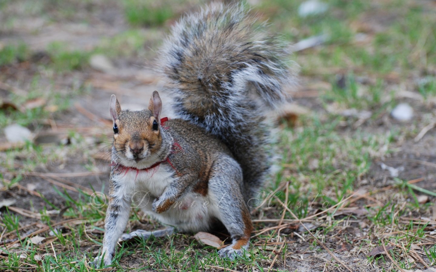 Collared Squirrel. by Rabid-Coot on DeviantArt