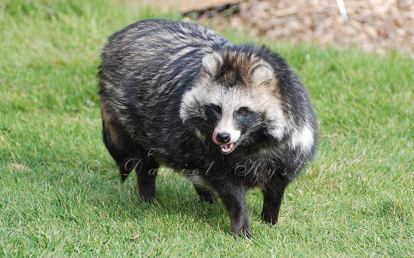 Coon Dogs