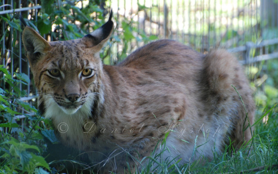 The Lynx Effect  by Rabid-Coot on DeviantArt