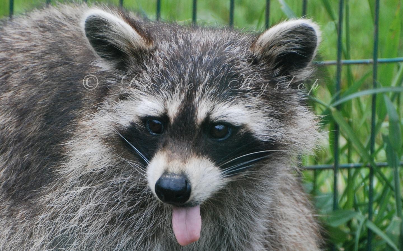 Raffish Raccoon. by Rabid-Coot on DeviantArt Raccoon With Rabies