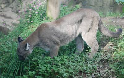 Cougar. by Rabid-Coot