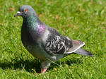 A  Pigeon Moment. by Rabid-Coot