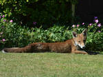 Fox In A Flowerbed. by Rabid-Coot