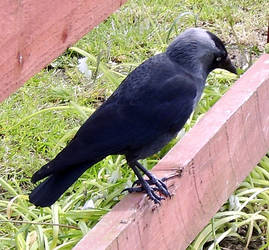 Jackdaw On The Fence.
