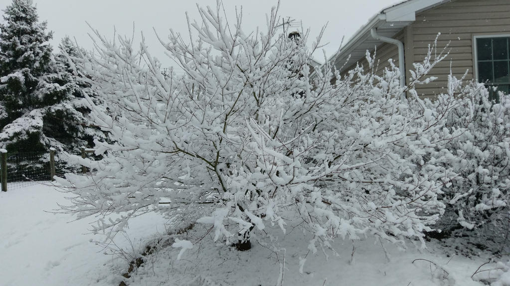 Snow Covered Branches  by Ashhei