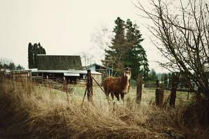 my alpaca friend by aimeelikestotakepics