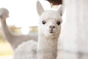 baby alpaca by aimeelikestotakepics