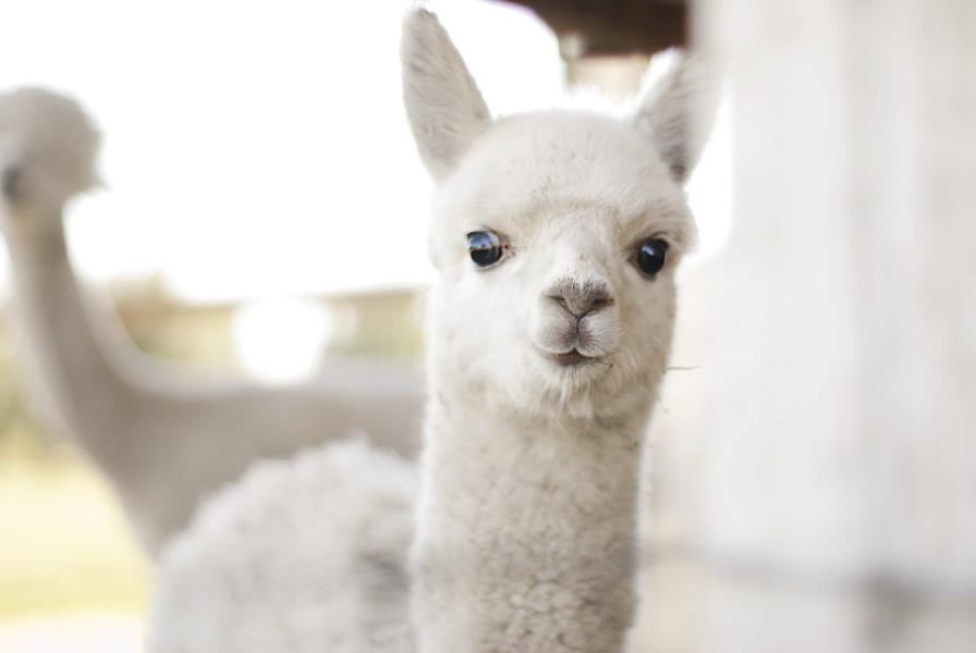 baby alpaca by aimeelikestotakepics on DeviantArt