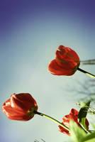 tulips in spring by aimeelikestotakepics