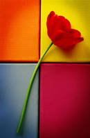 Tulip Still Life II by aimeelikestotakepics