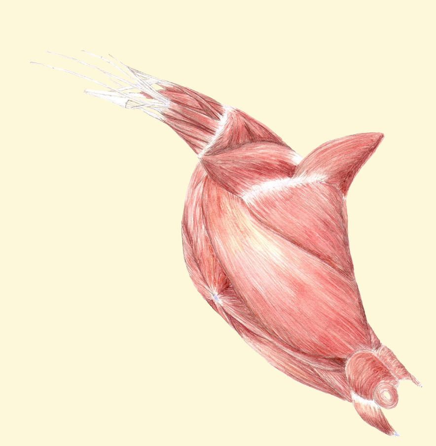 Steller Sea Lion Muscles by Coccygodynious on DeviantArt