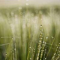 Barley in the Dew by DominikKucera
