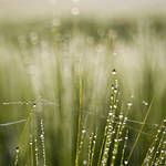 Barley in the Dew