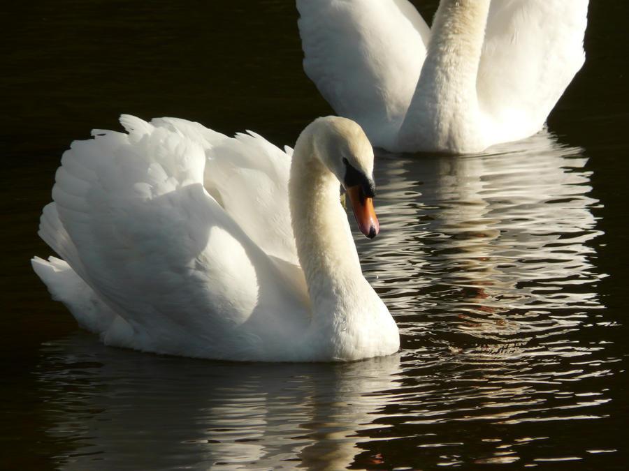 Swan 5 by YsaeddaStock