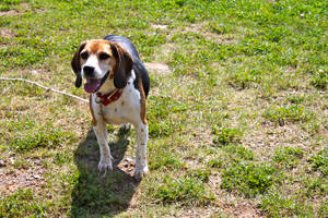 Nelly the Beagle by selkieartz