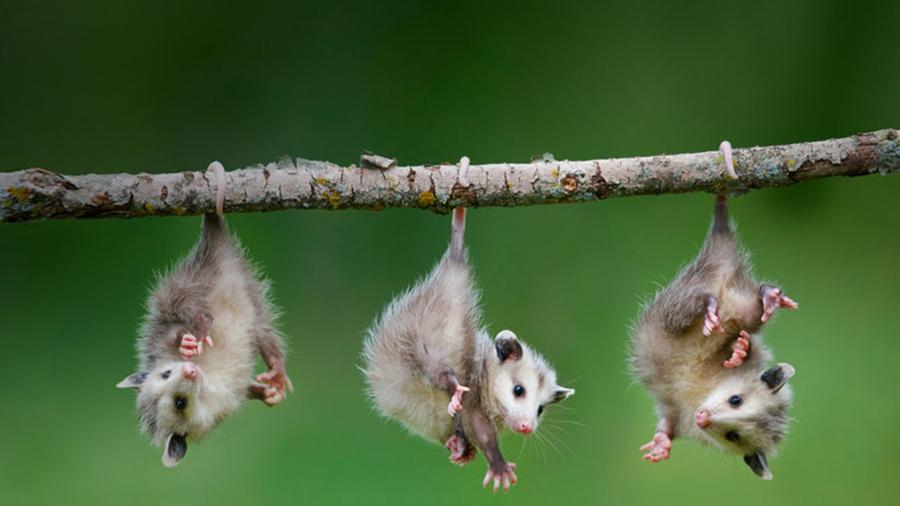 Opossums From Bing 1366x768 By Krittermattel