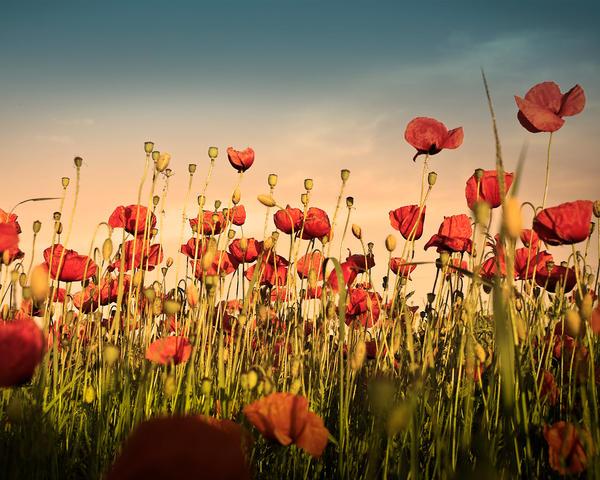 Poppy Wallpaper by MegaTherionus