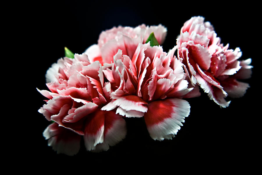 Red pink and white flowers with black background by dom410 on deviantart red pink and white flowers with black background by dom410 mightylinksfo Gallery