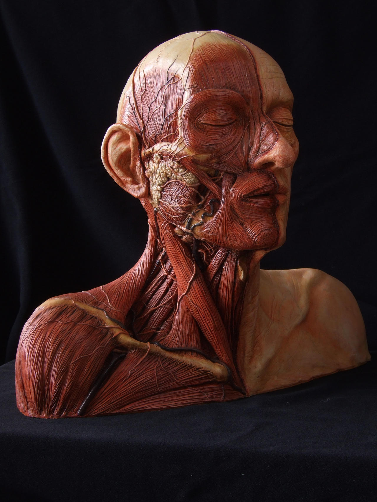 Anatomy Study - Human head by revenant-99 on DeviantArt