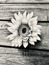 black and white sunflower by Acillium