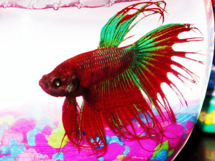 Betta fish by kayleigh29 on deviantart for Betta fish friends