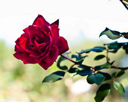A Rose of Any Other Name