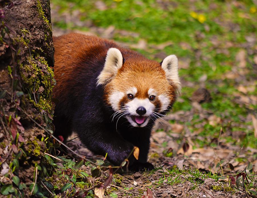red panda just got - photo #19