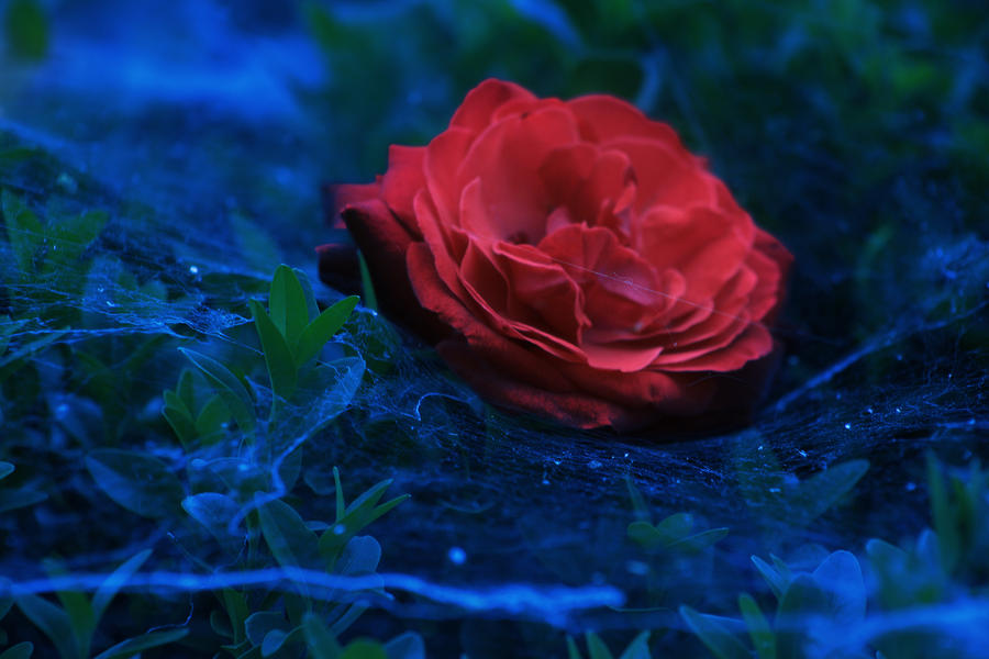 The Red of a Rose by xChristina27x