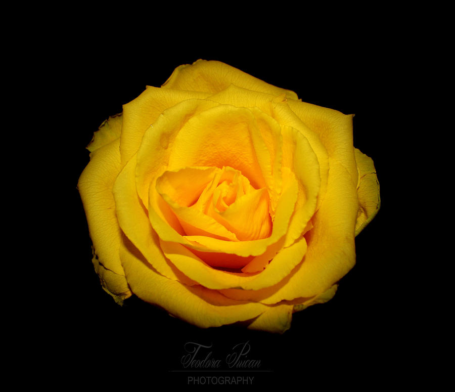 Roses Are R... Yellow by xChristina27x