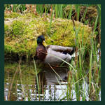 Drake Mallard in the Garden Pond by Katzenminze86