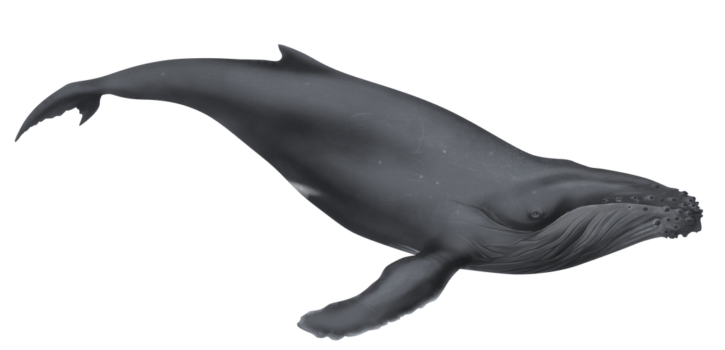 illustration humpback whale by dio 03 on deviantart rh dio 03 deviantart com  humpback whale clipart black and white
