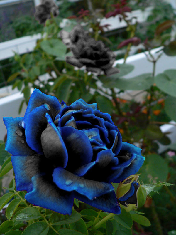 Black rose with blue tips by ladymidnight21 on deviantart black rose with blue tips by ladymidnight21 voltagebd Choice Image