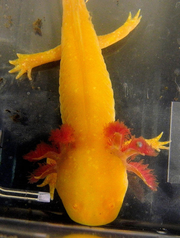 golden axolotl by idolomantis on deviantart