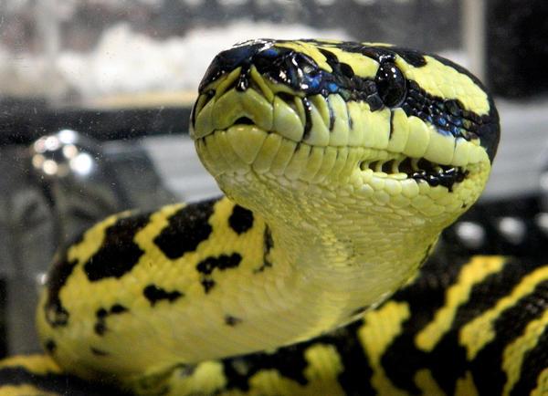 Jungle Carpet Python by Idolomantis on DeviantArt