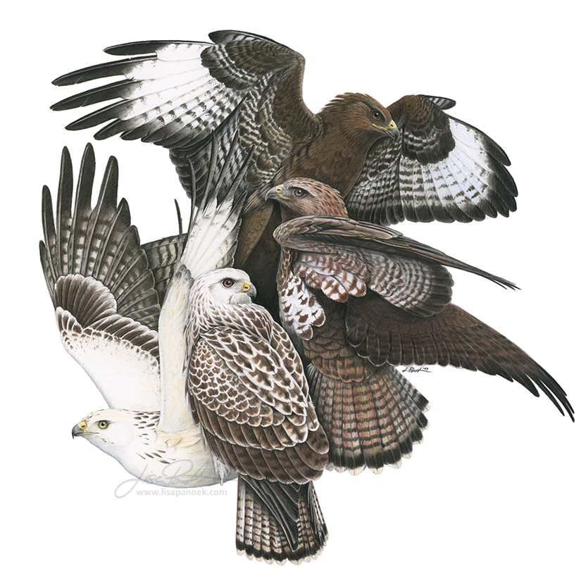 Color Morphs of the Common Buzzard (Buteo buteo)
