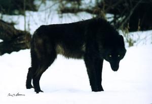 Wolf-Guard's Profile Picture