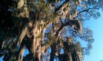 Savannah, GA-Spanish Moss in Forsyth Park